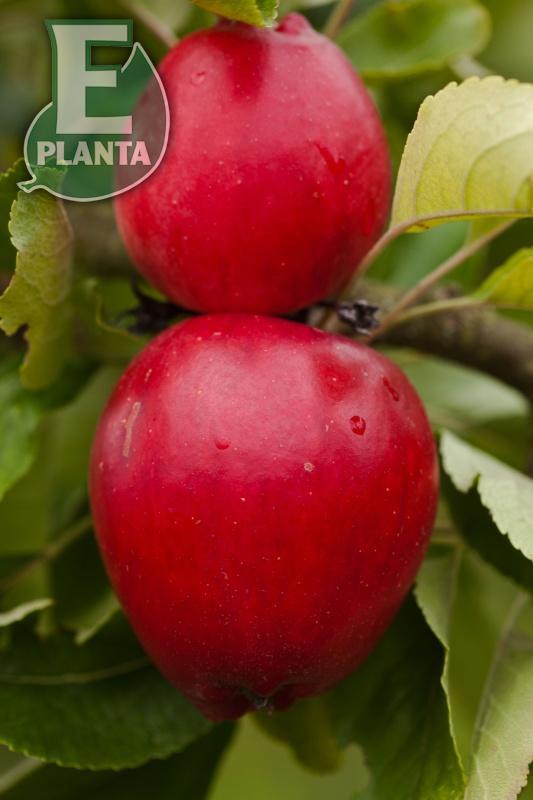 Apple Katja E