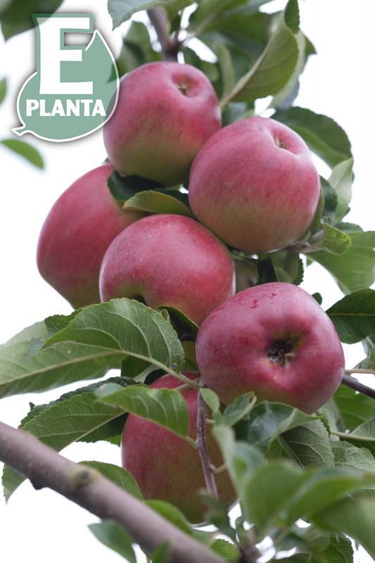 Lovisa E: äpple ' Lovisa ® E